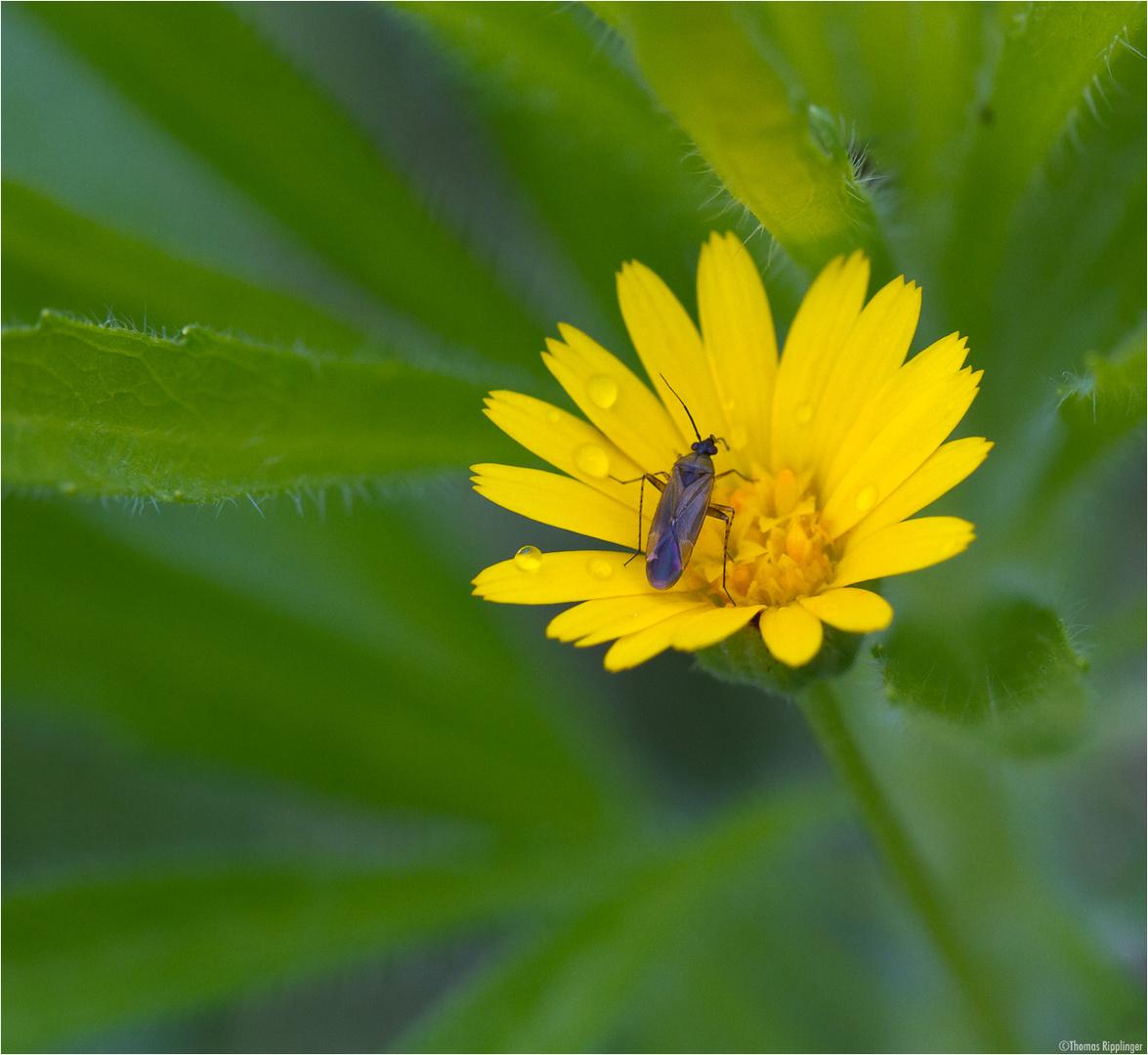 Auf der Acker-Ringelblume (Calendula arvensis).