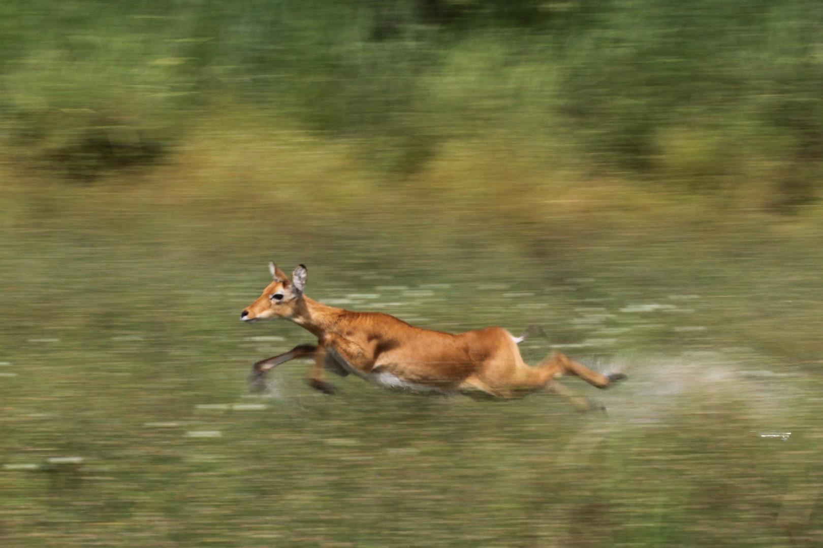 Auf der Flucht vor dem Löwen