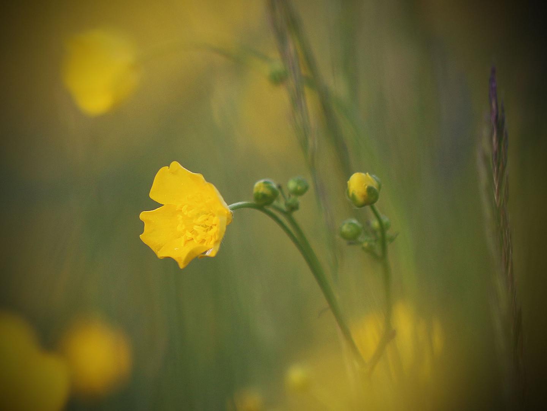 Auf der gelb gedupften Wiese...