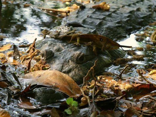 Auf der Lauer, Beulenkrokodil (Crocodylus moreletii), Guatemala 2008