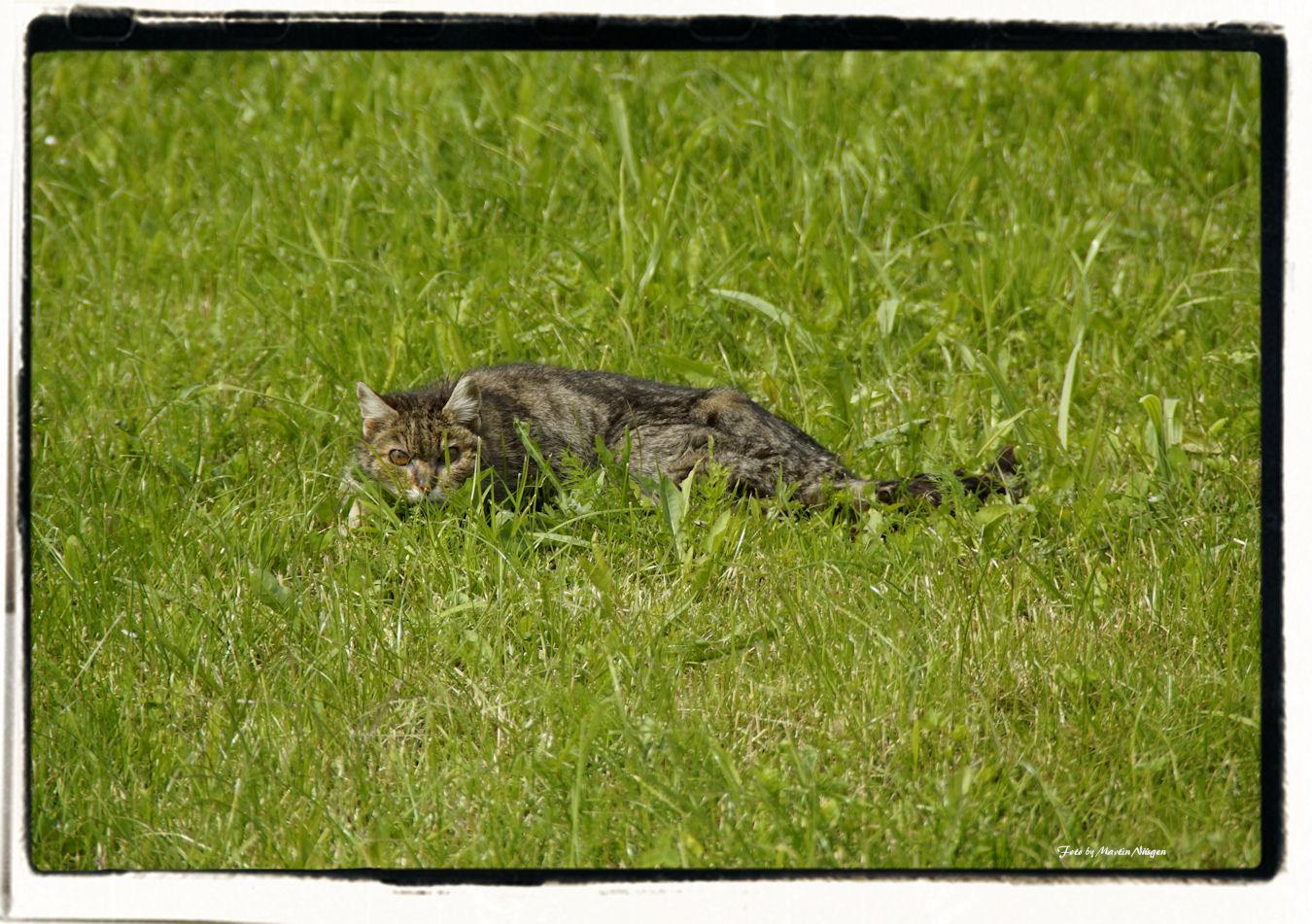 Auf der Lauer im Gras