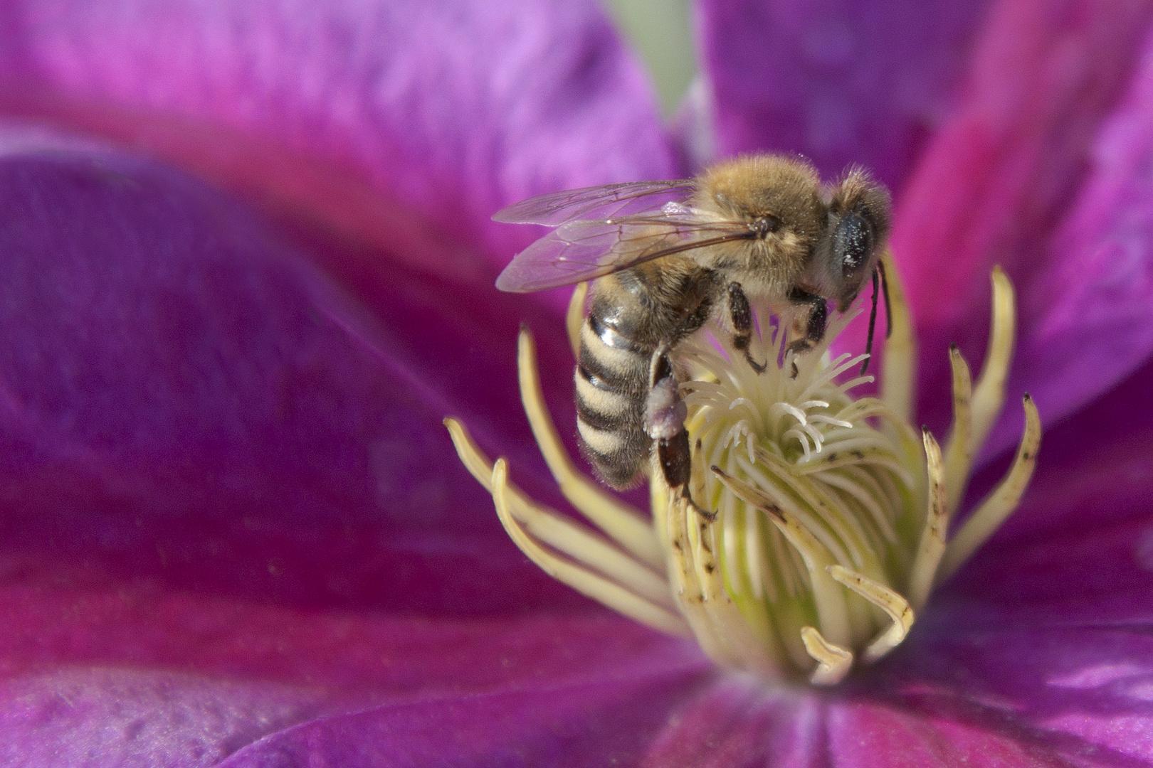 Auf der lila Blüte