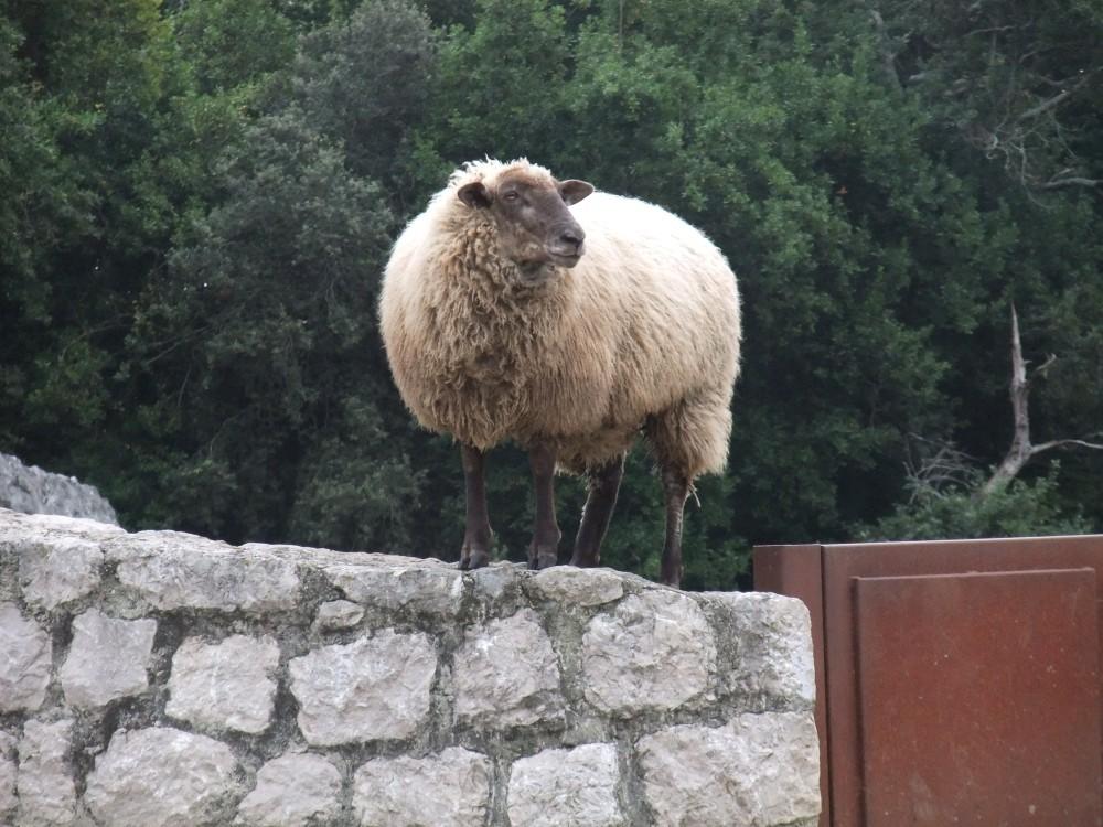 Auf der Mauer auf der Lauer sitzt ne kleine ...Schaf