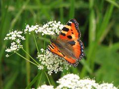 Auf der Schmetterlingswiese