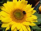 Auf der Sonnenblume