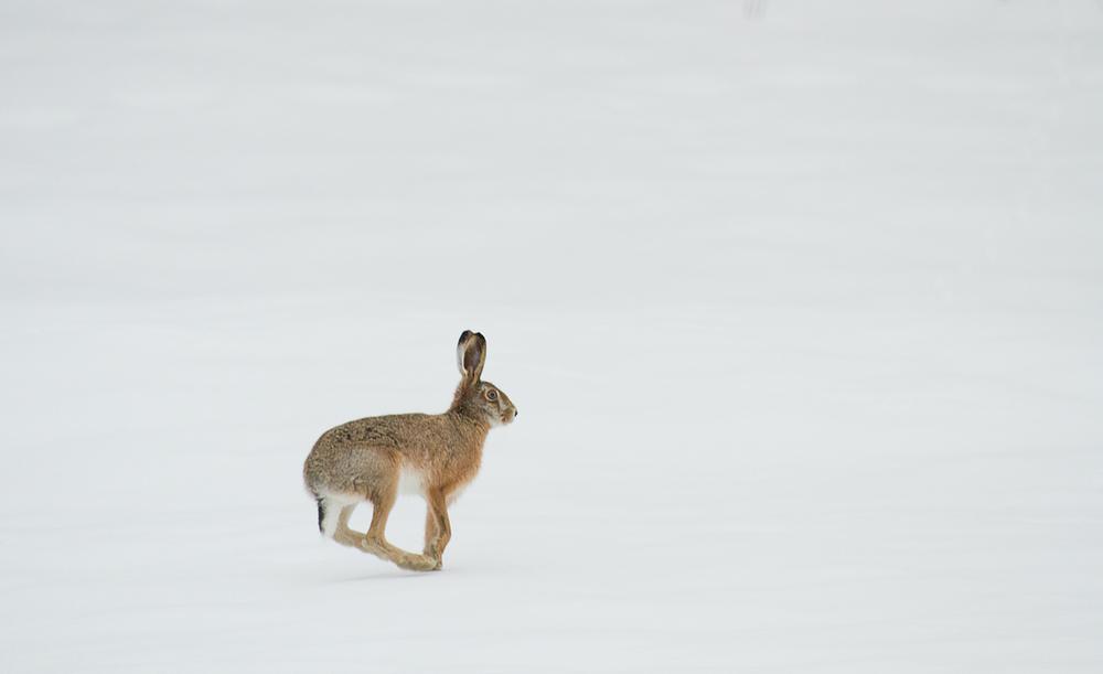 auf der verschneiten Wiese hoppelt ein Hase . . .