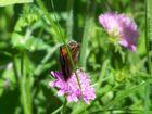 Auf der Wiese ein kleiner Schmetterling