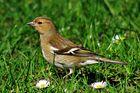 auf der Wiese...ein Buchfink-Weibchen