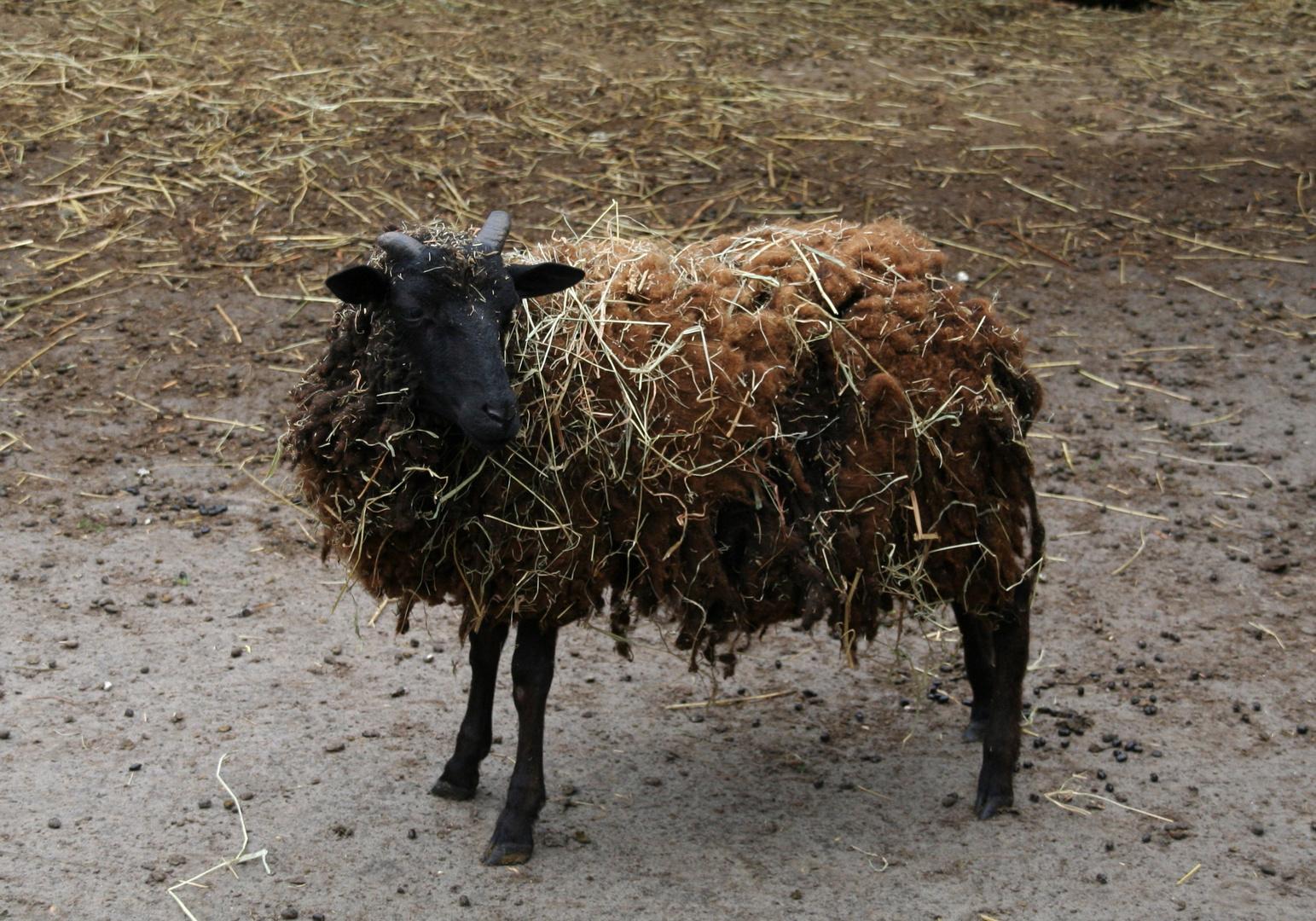Auf diesem Bild hat sich ein Schaf versteckt - finde es!