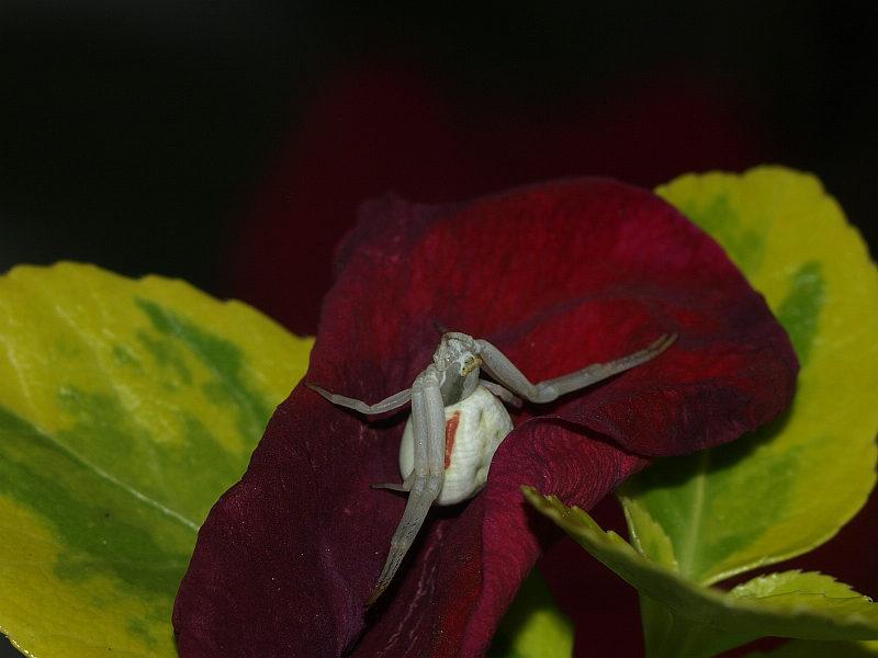 Auf einem Rosenblatt gebettet ....