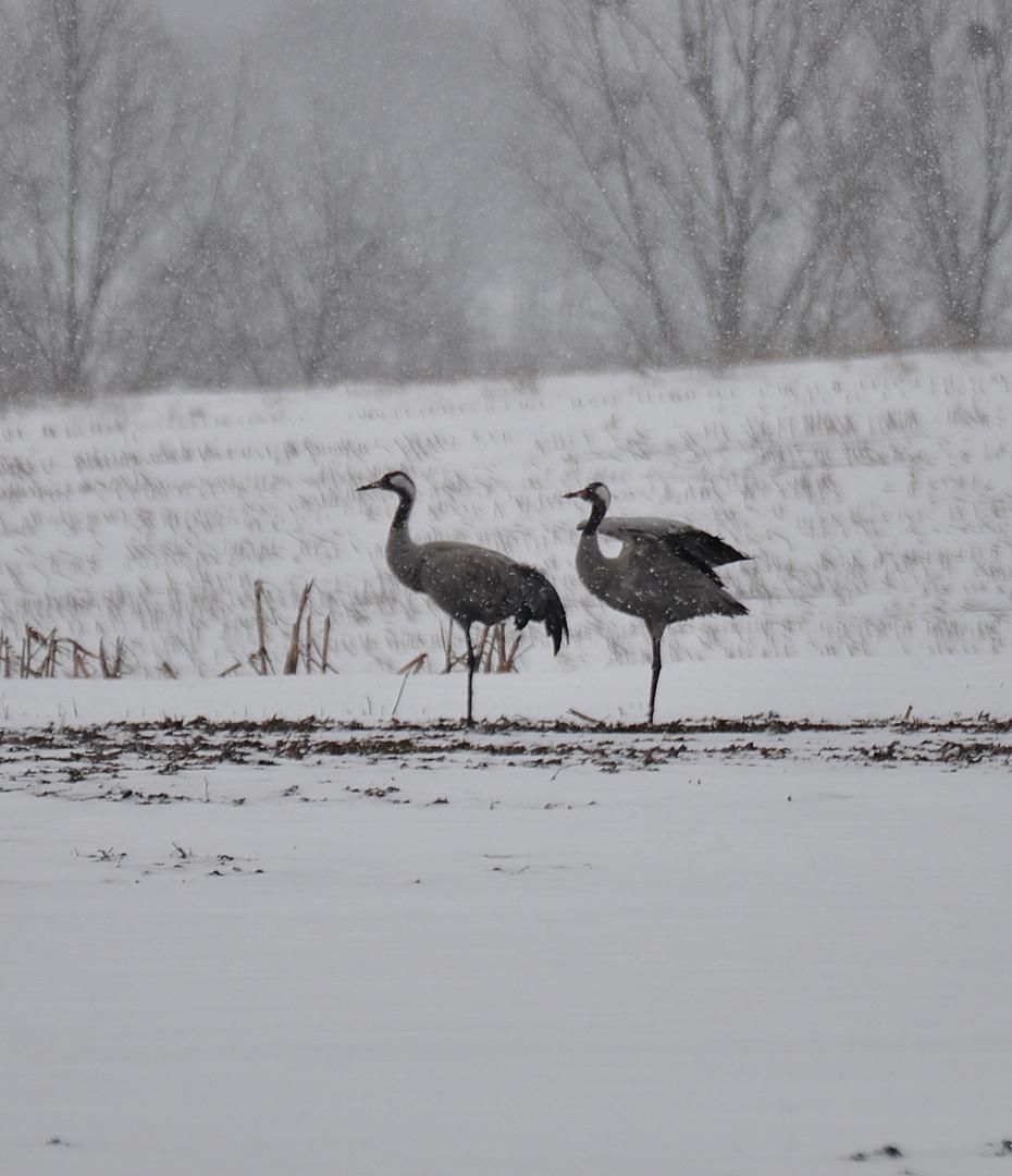 Auf Futtersuche bei starken Schneefall