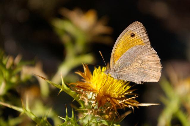 Auf Korsika gibts Schmetterlinge
