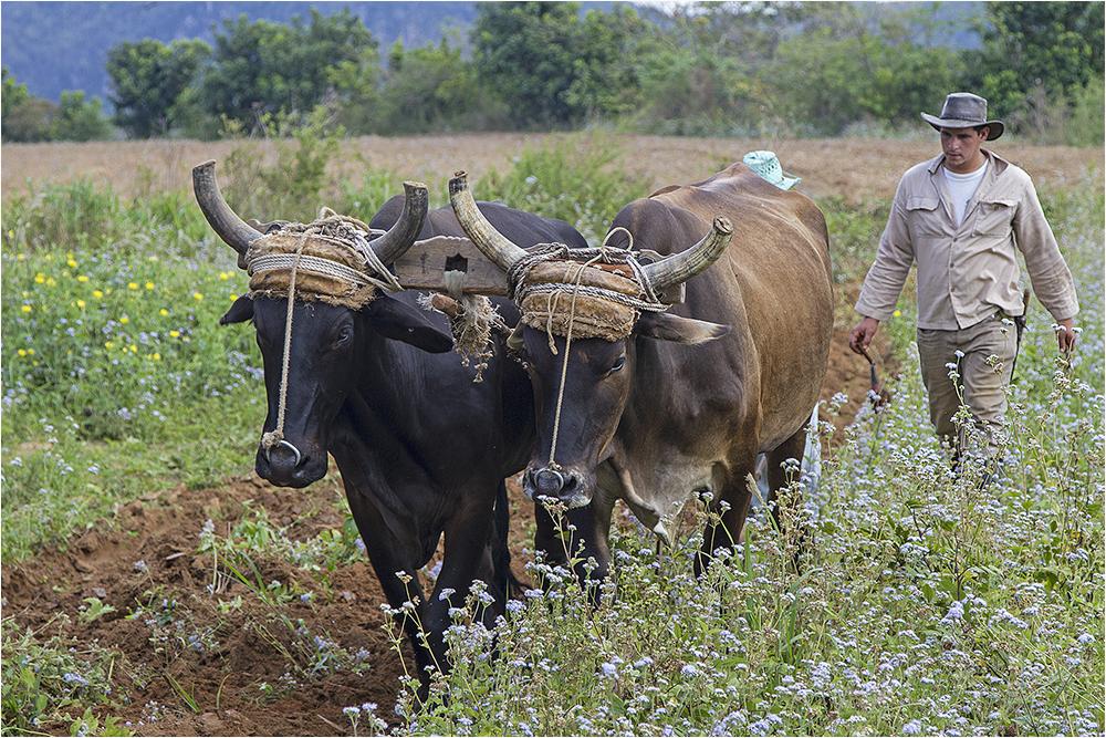 auf Kubas Feldern
