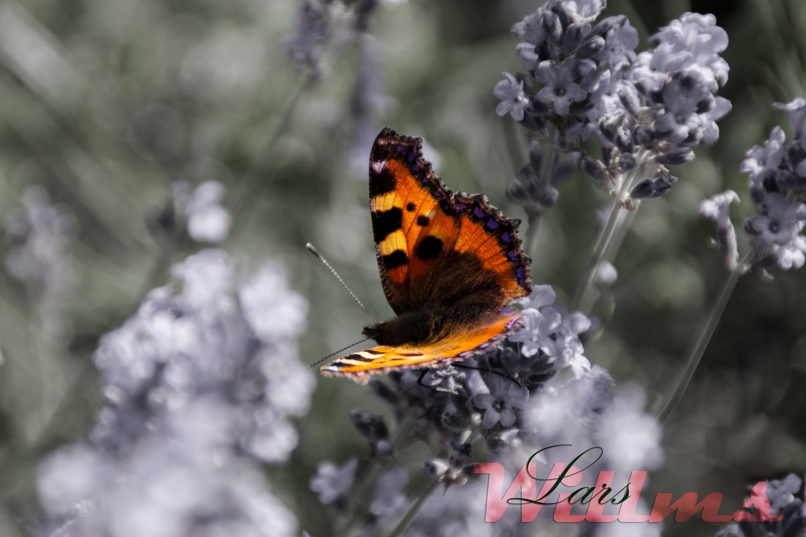 Auf Lavendel