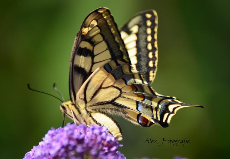 ...auf meinem Schmetterlingsflieder