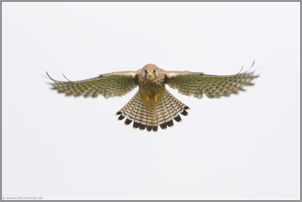 auf Sicht... Turmfalke *Falco tinnunculus*