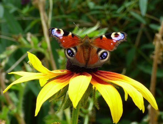 auf und davon, der Pfauenauge startet von einer Blüte