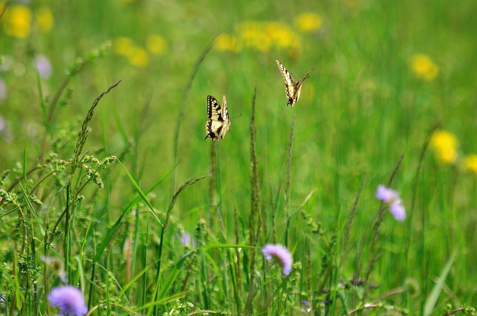 Auf unserer Feld - Blumen - Wiese 1)