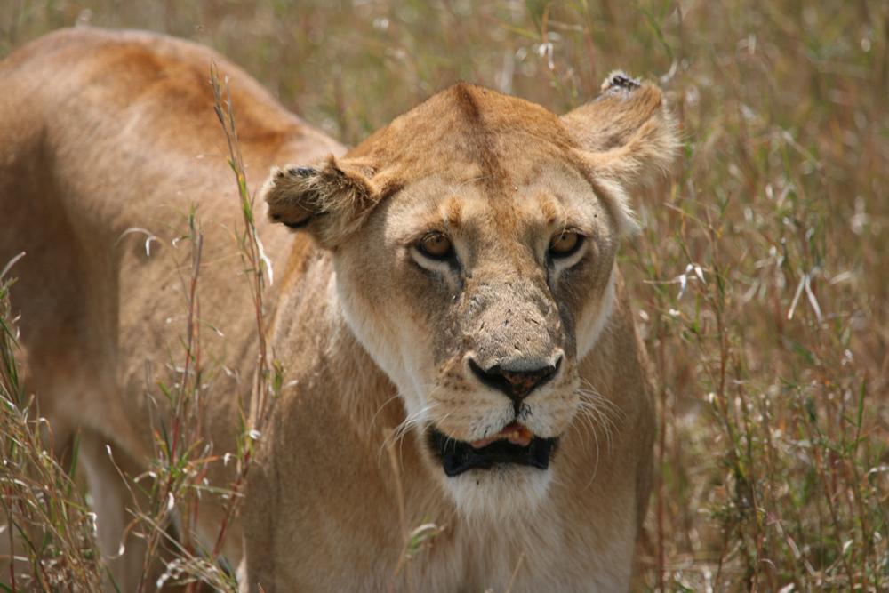 Auf Wacht in der Serengetih