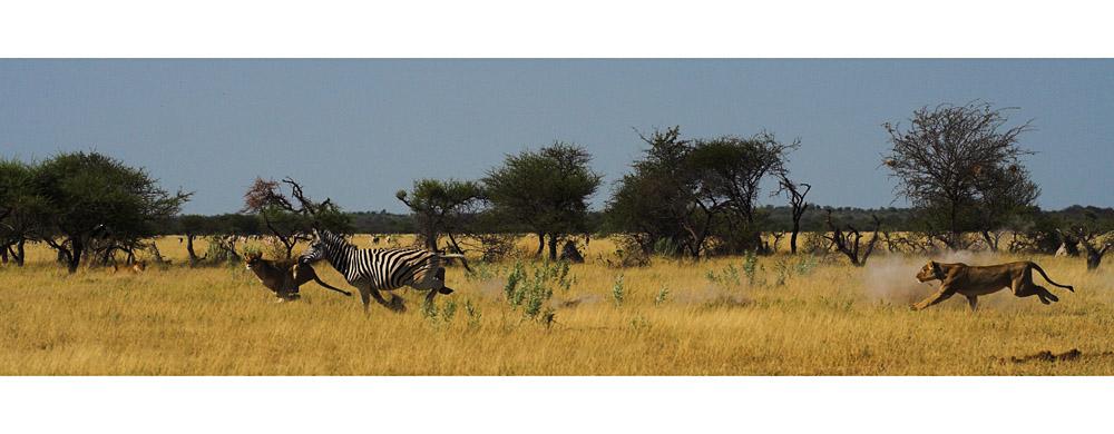 Auf Zebrajagd...