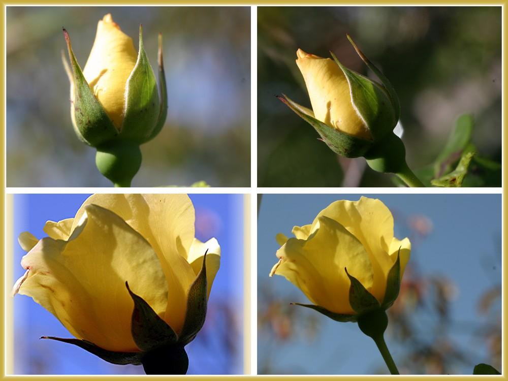 Aufblühen: Yellow Rose,