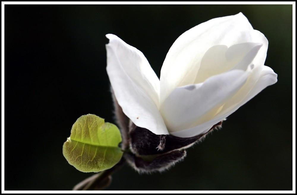aufblühende Magnolie