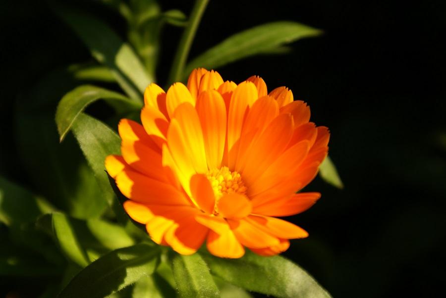 aufblühende Ringelblume