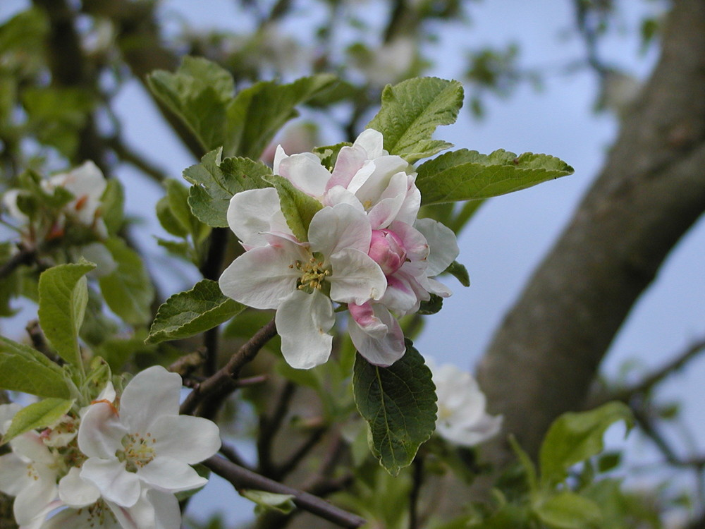Aufgehende Apfelblüte