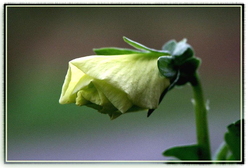 Aufgehende Blüte