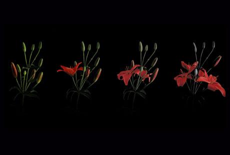 Aufgehende Blume