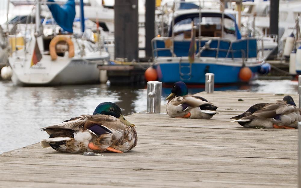 aufgeplusterte Ente am Hamburger Hafen