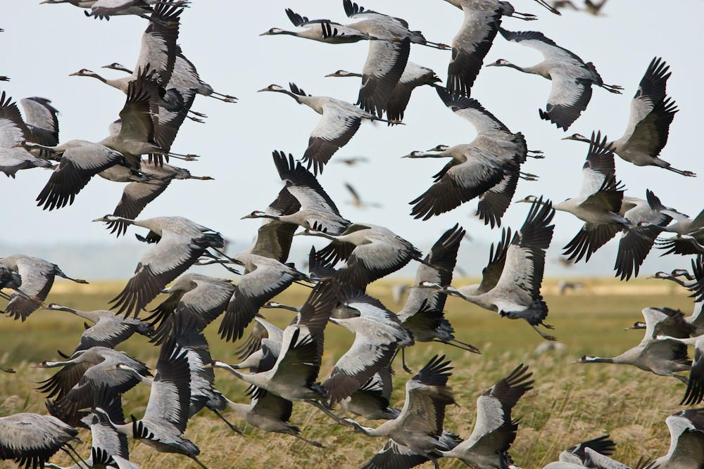 aufgeschreckt durch einen Adler