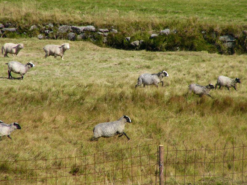 Aufgeschreckte Schafe