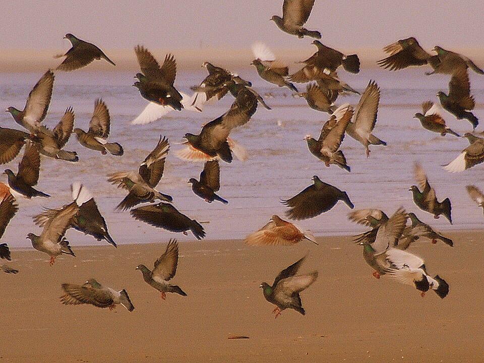 Aufgeschreckte Tauben am Strand