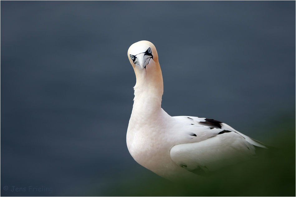 Aufmerksam Basstölpel auf Helgoland