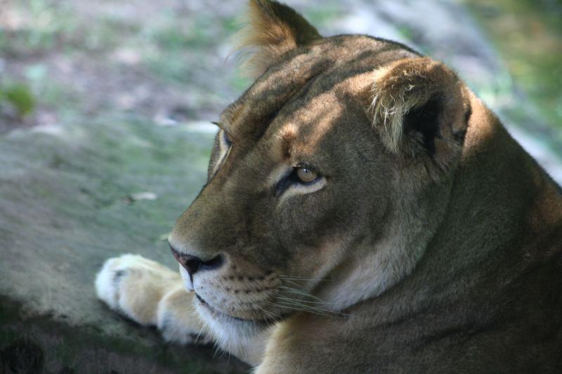 Aufmerksame Löwenlady