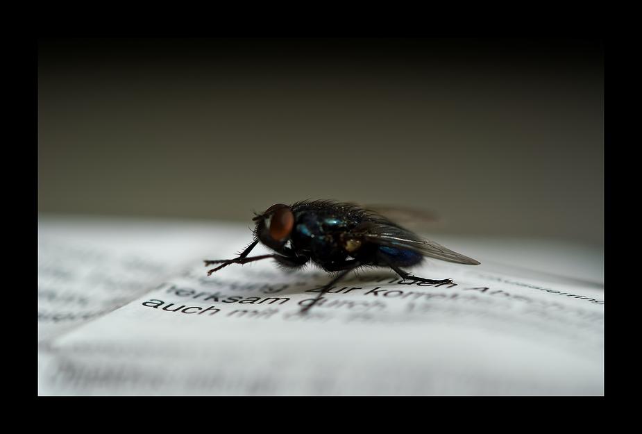 Aufmerksame Stubenfliege beim Zeitungslesen ;o)