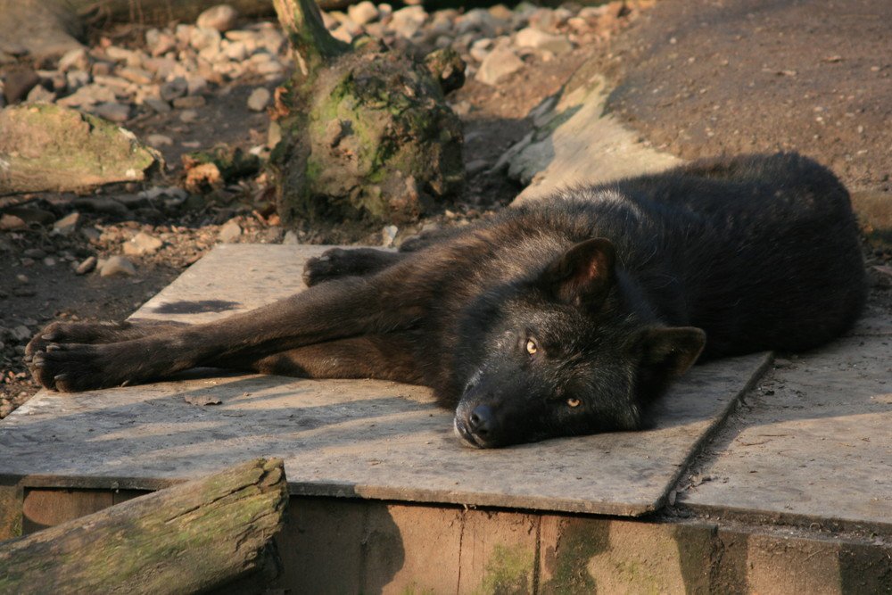 Aufmerksamer Blick eines Wolfes