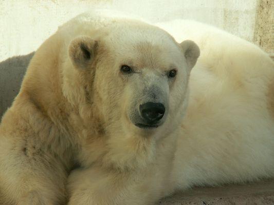 aufmerksamer Eisbär