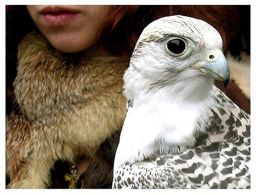 Aufmerksamer Falke
