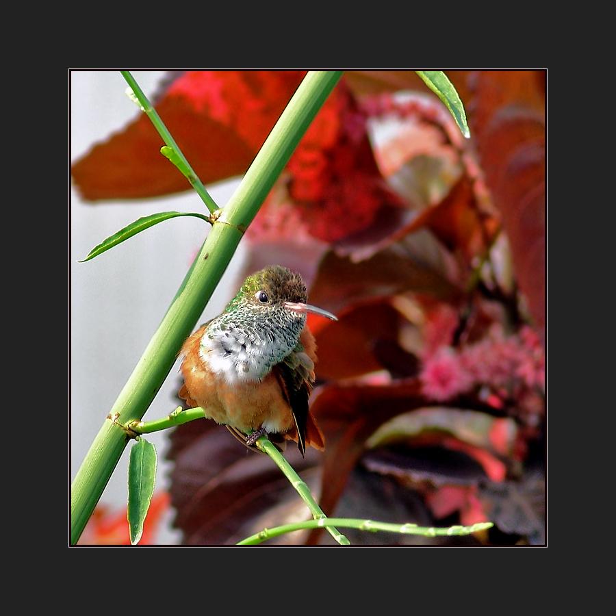 Aufmerksamer Kolibri