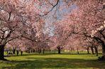 Aufnahme vom 14.03.2014, Blütenrausch im Schwetzinger Schlossgarten (Mannheim). Jedes Jahr...