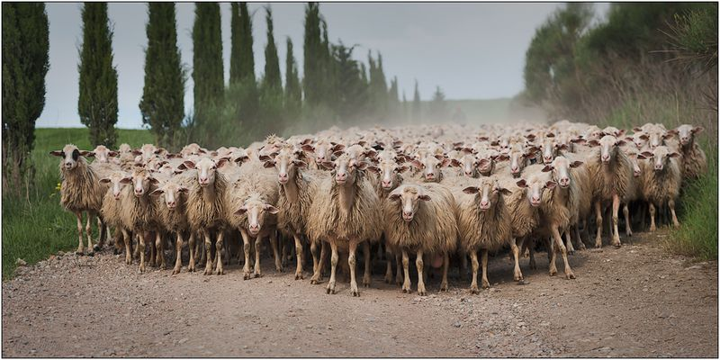 Aufstand der Schafe