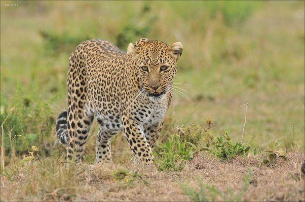 Aug in Aug mit dem Leoparden