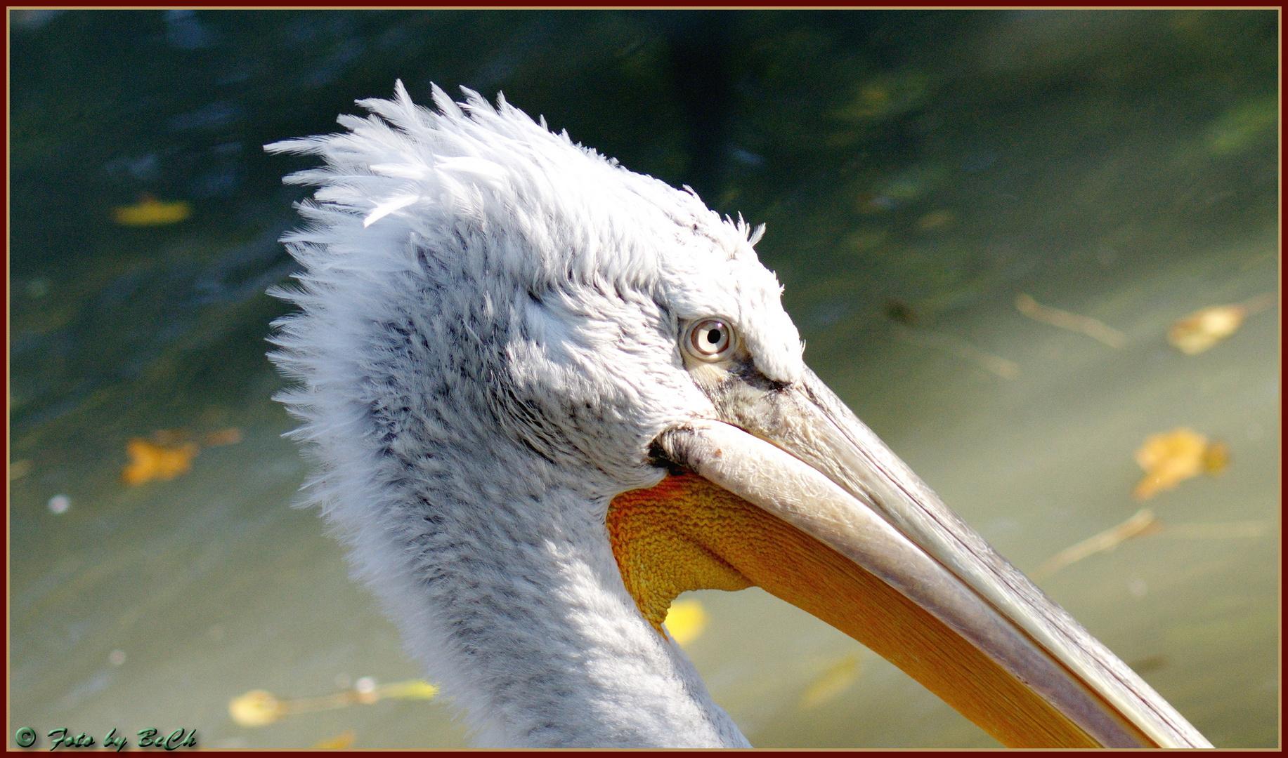 Aug' in Aug' mit dem Pelikan