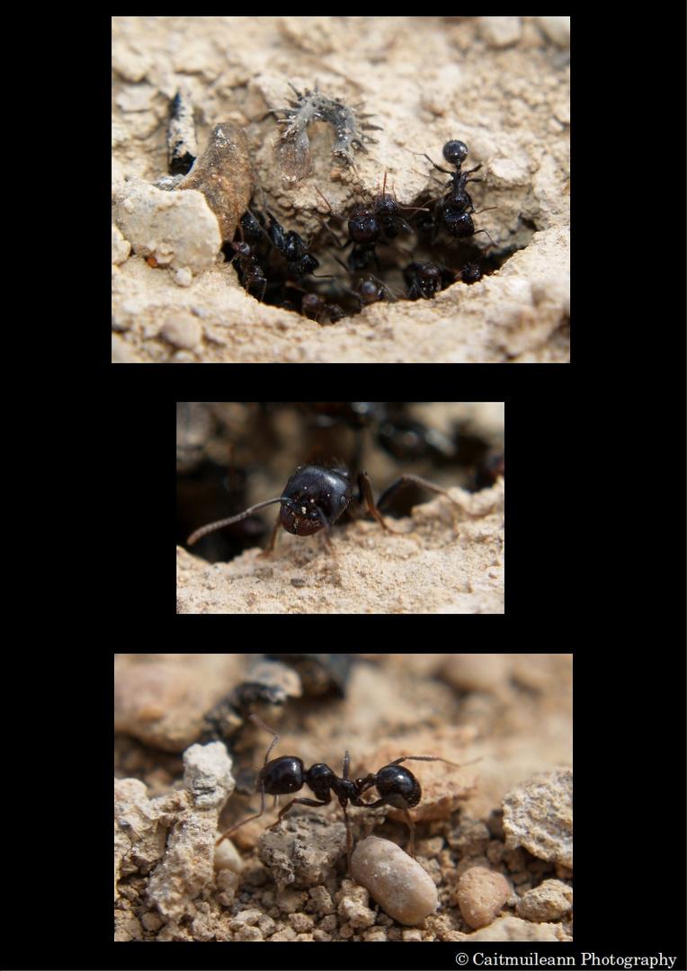 Aug' in Aug' mit den spanischen Ameisen