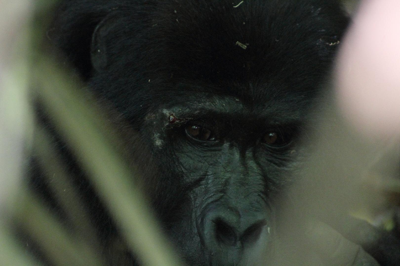 Aug in Auge mit dem Gorilla