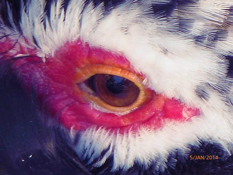 Auge der Ente