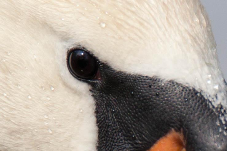 Auge eines Schwans