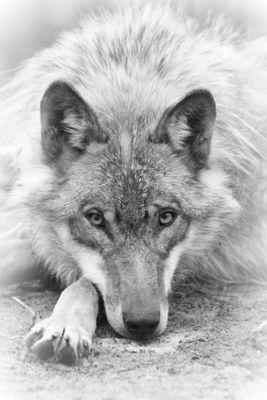 """Auge in Auge mit dem """"bösen"""" Wolf"""